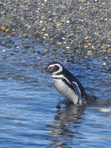 Pinguinera_019_DSCN7031